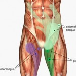 Groin Muscle
