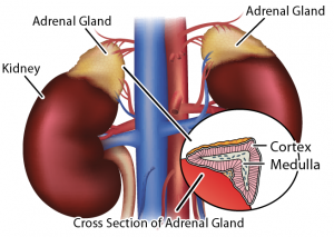 adrenal gland