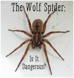 Wolf spider bite